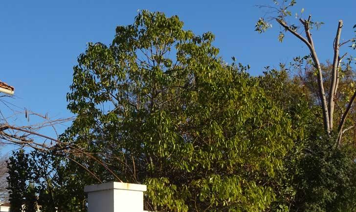 Camphrier, arbre, Crédits : Fabienne Guérin
