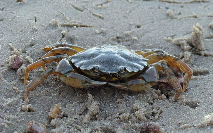 Crabe-vert-crédit-D-HAzerli
