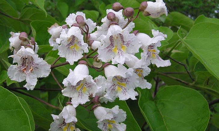 Catalpa commun, fleurs (Crédits : wikimedia)