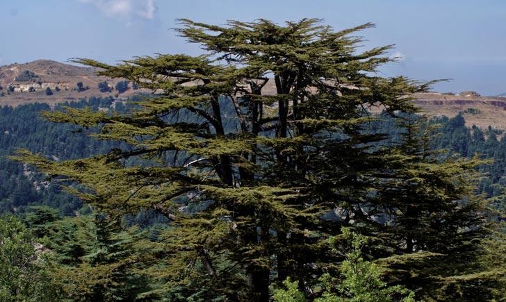Cèdre du Liban, réserve de Tannourine, crédits : tongeron91