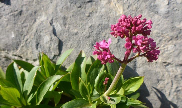 Centranthus ruber (crédit: Toulourenc Horizon)