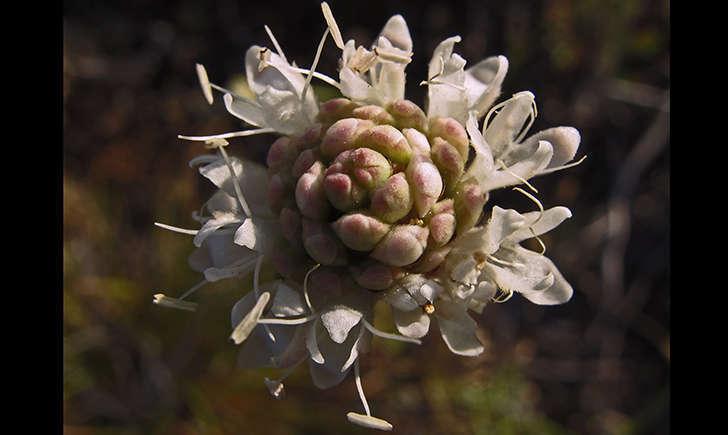 Céphalaire blanche (jacinta lluch valero - flickr)