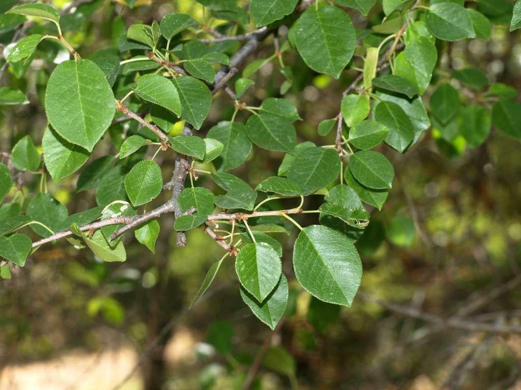 Cerisier de Sainte Lucie