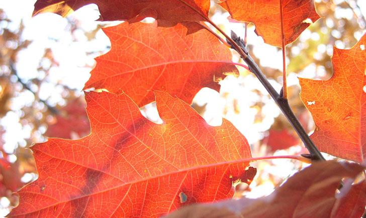 Chêne rouge d