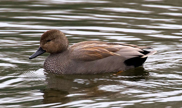 Canard chipeau (Crédits: Tony Hisgett - flickr)