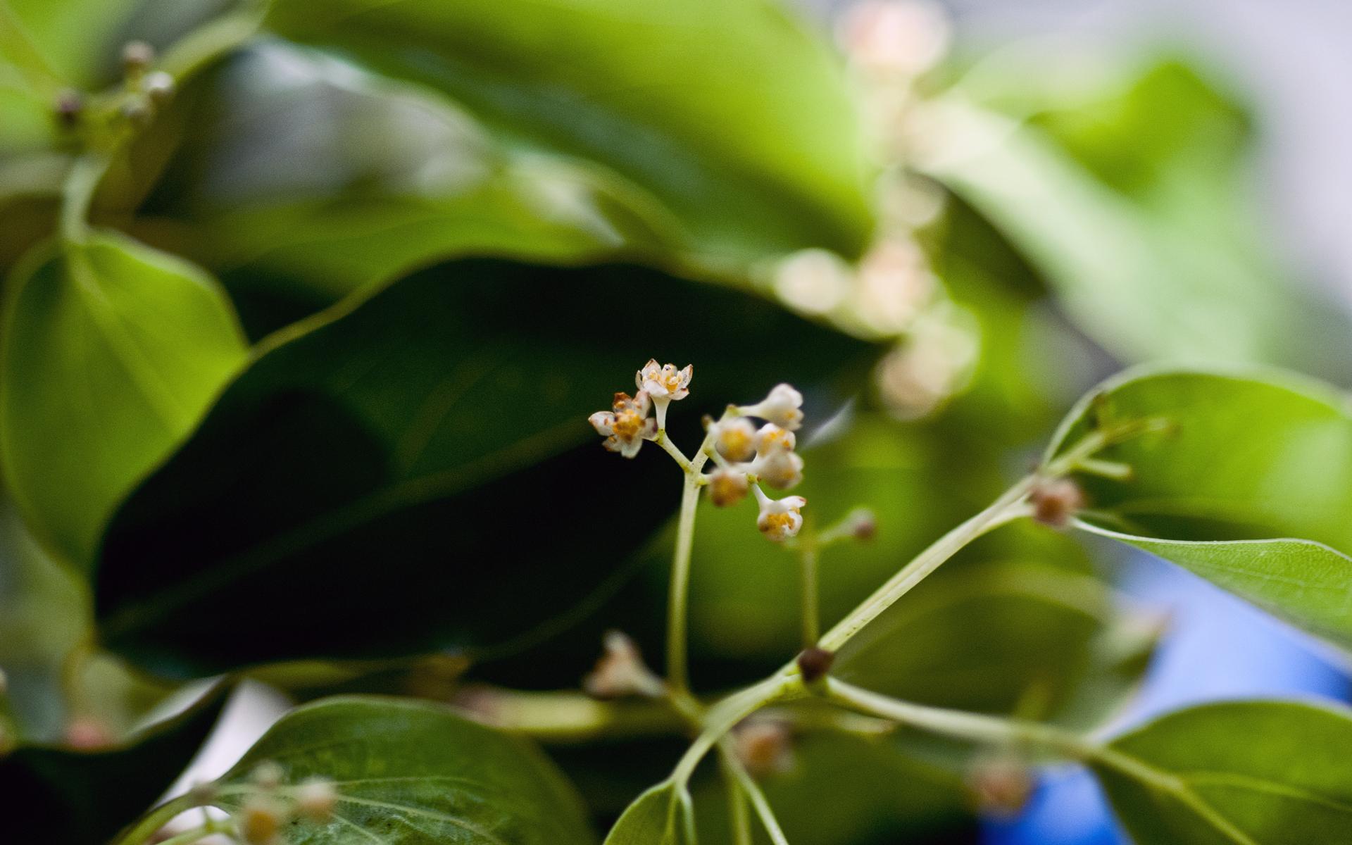 Camphrier, fleurs. Crédit : Shih-Shiuan Kao - Flickr