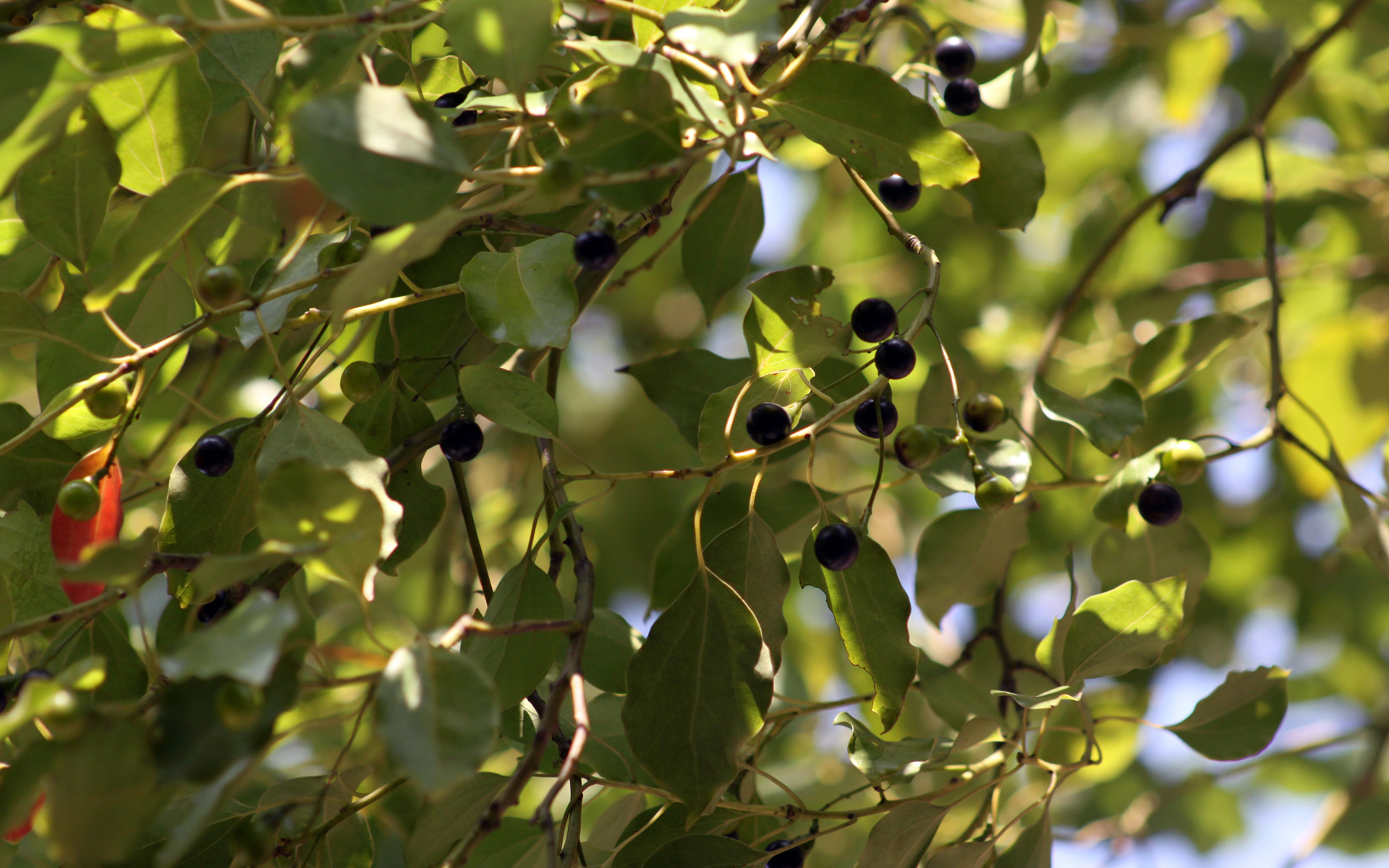 Camphrier, fruit. Crédit : sclereid0309 - Flickr