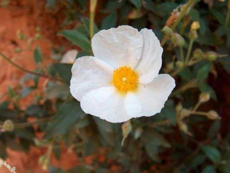 Fleur de ciste à feuille de laurier au Colorado provençal 4