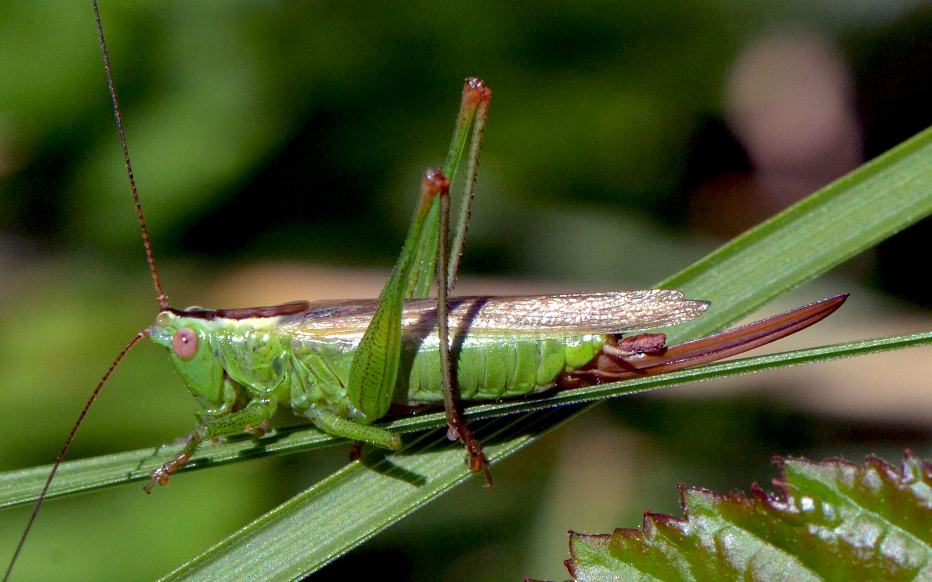Conocéphale bigarré femelle. Crédit : Vlad Proklov - Flickr