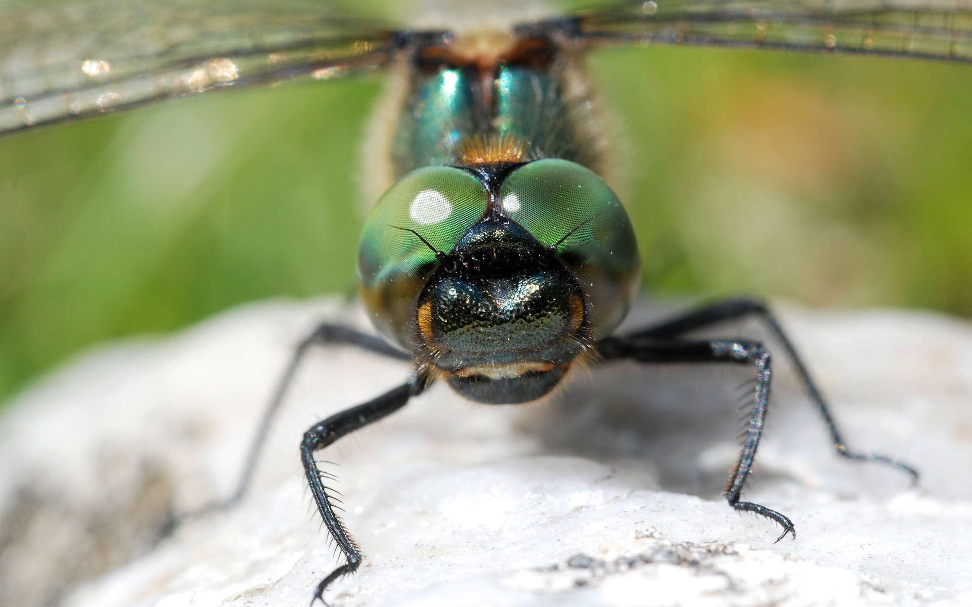 Cordulie alpestre (Crédits: Gilles San Martin - Flickr)
