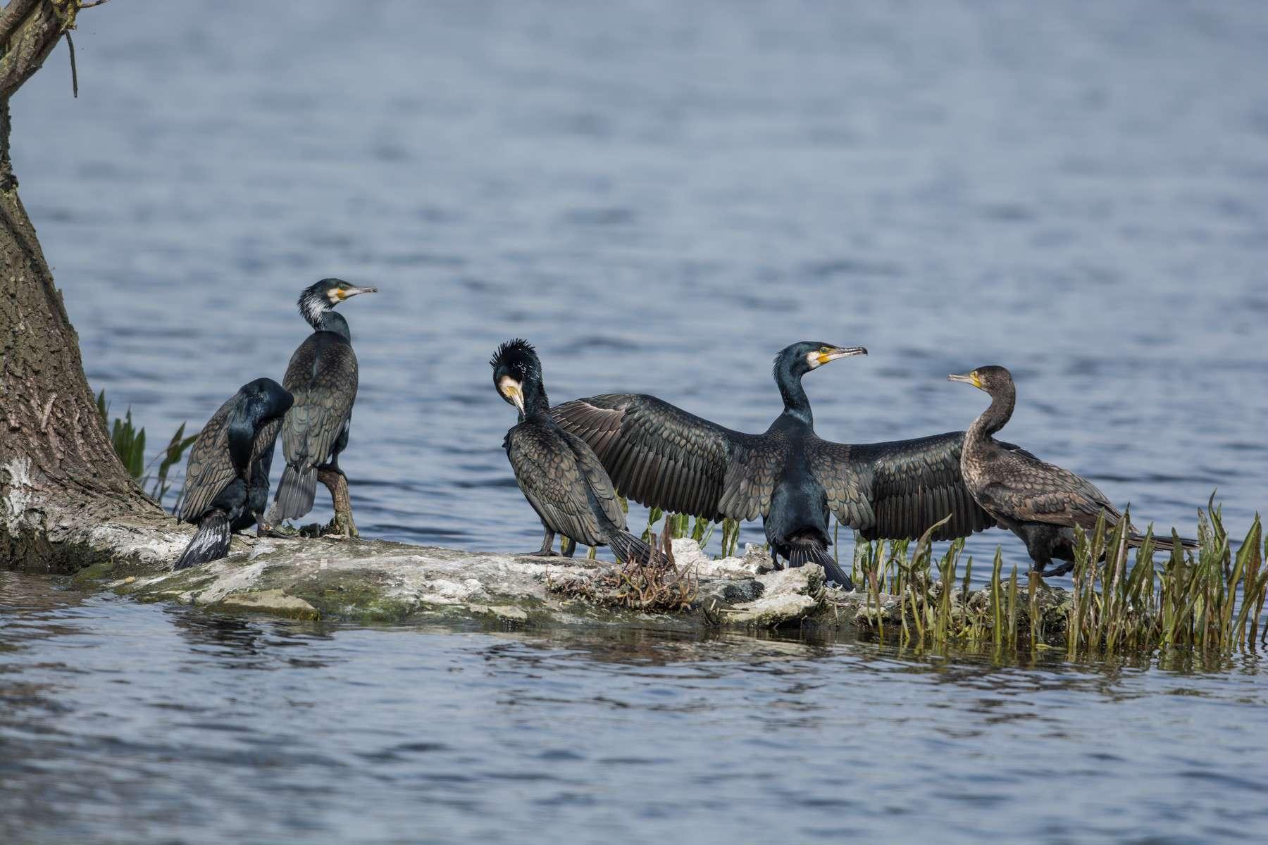 Grand cormoran - Crédit: Jerôme Boisard