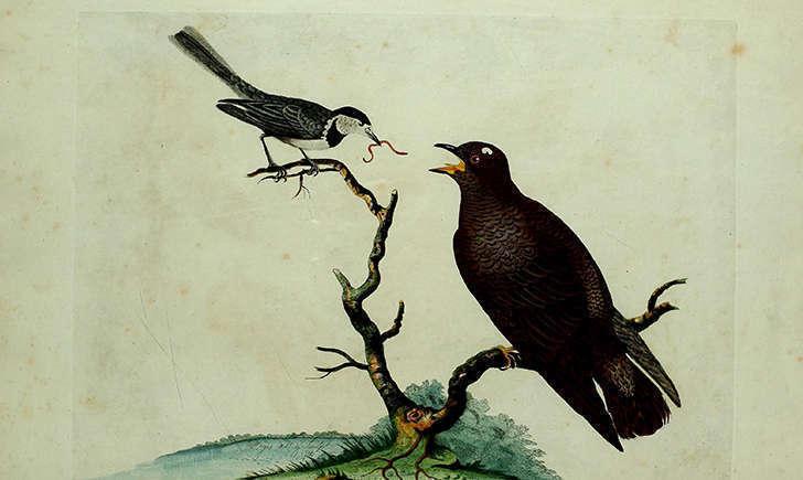 Bergeronnette grise nourrissant le coucou gris (Crédits: Biodiversity Heritage Library - flickr)