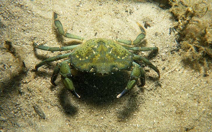 Crabe-vert--credit-www.scienceimage.csiro.au