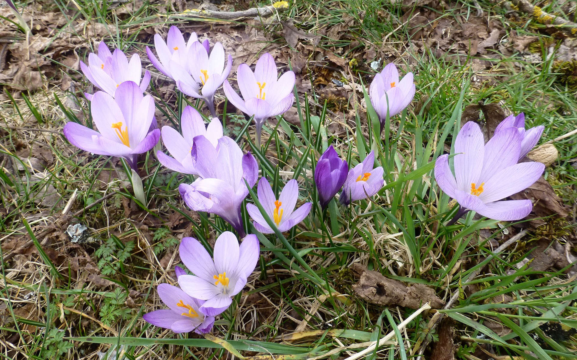 Crocus de printemps (Crédits: nociveglia - Flickr)