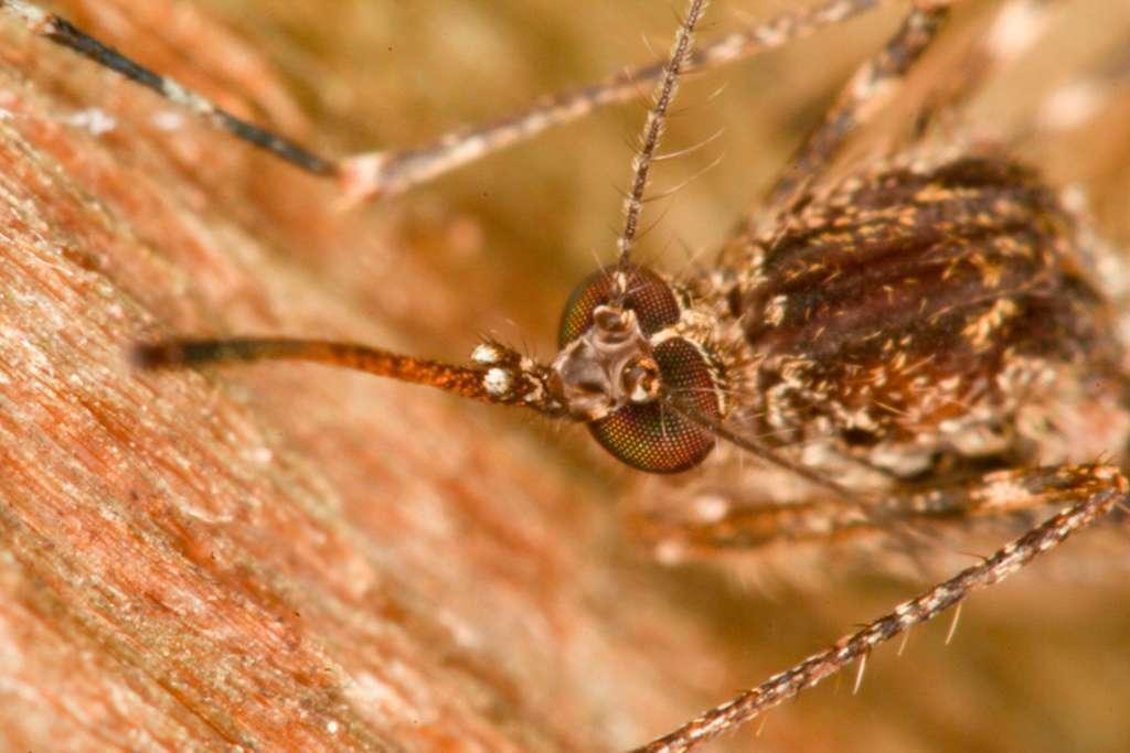 Moustique commun