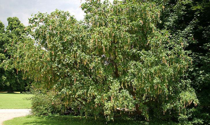 Laburnum alpinum (crédit: J. P. Grandmont)