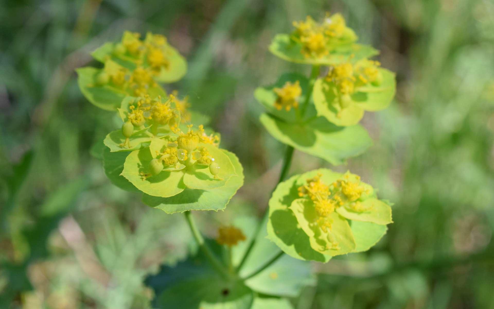 Euphorbe dentée - fleurs (Crédits : Léa Charbonnier)