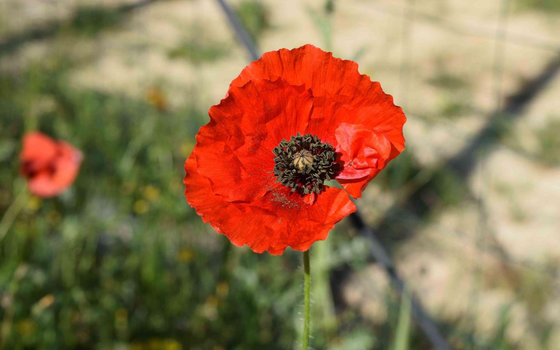 Fleur de Coquelicot (Crédits : Sabine Meneut)