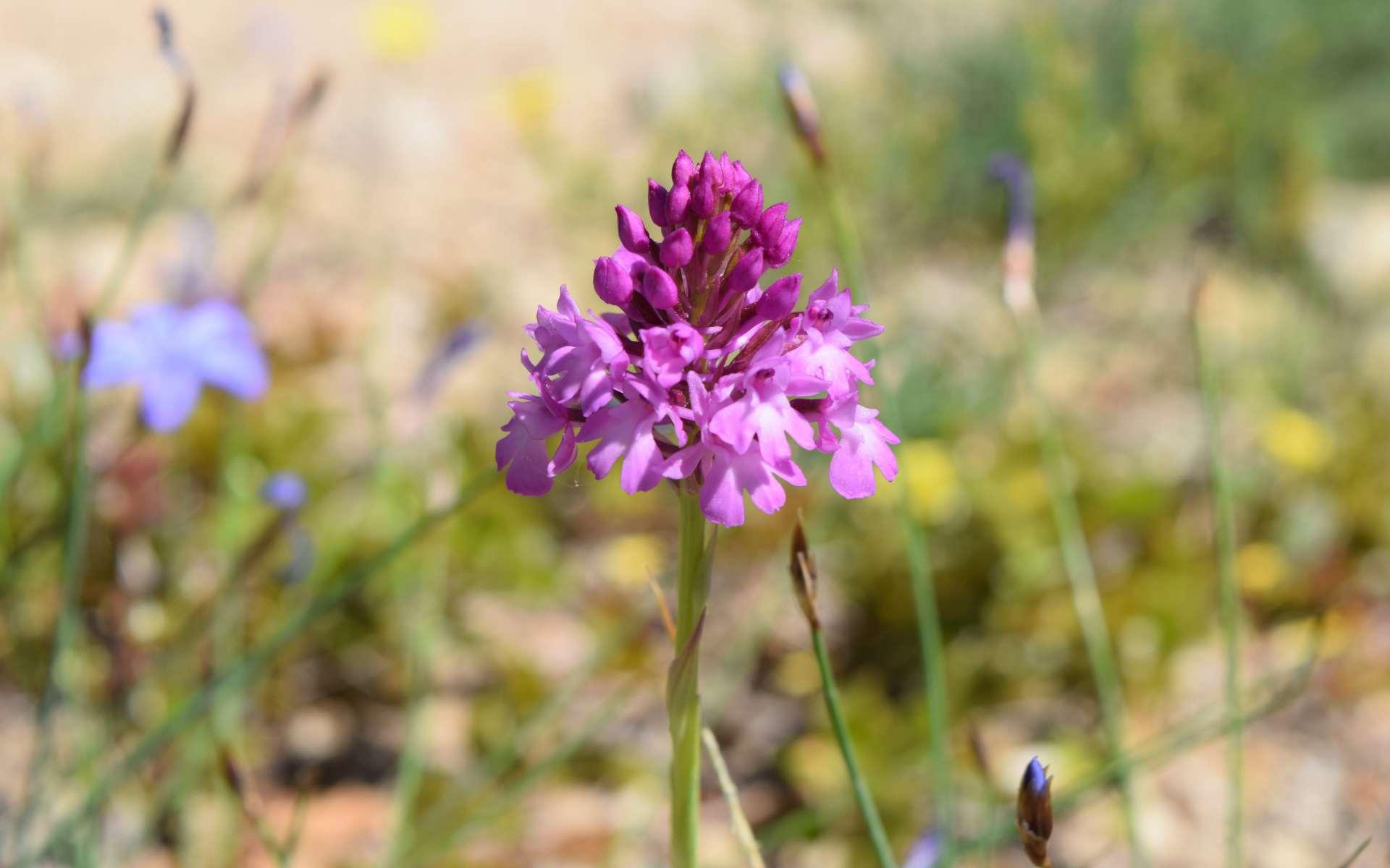 Orchis pyramidal - inflorescence (Crédits : Léa Charbonnier)