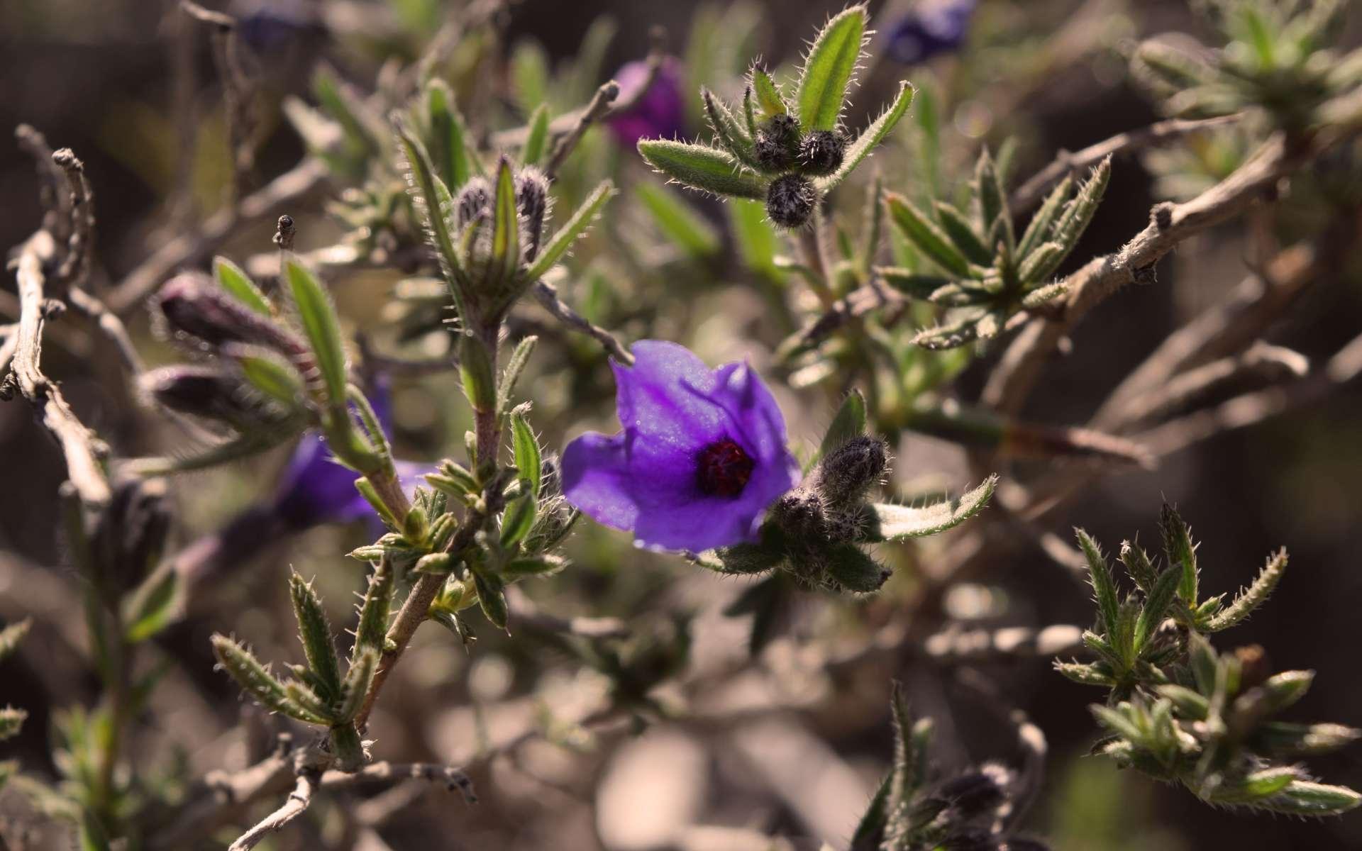 Grémil ligneux - fleurs (Crédits : Sabine Meneut)