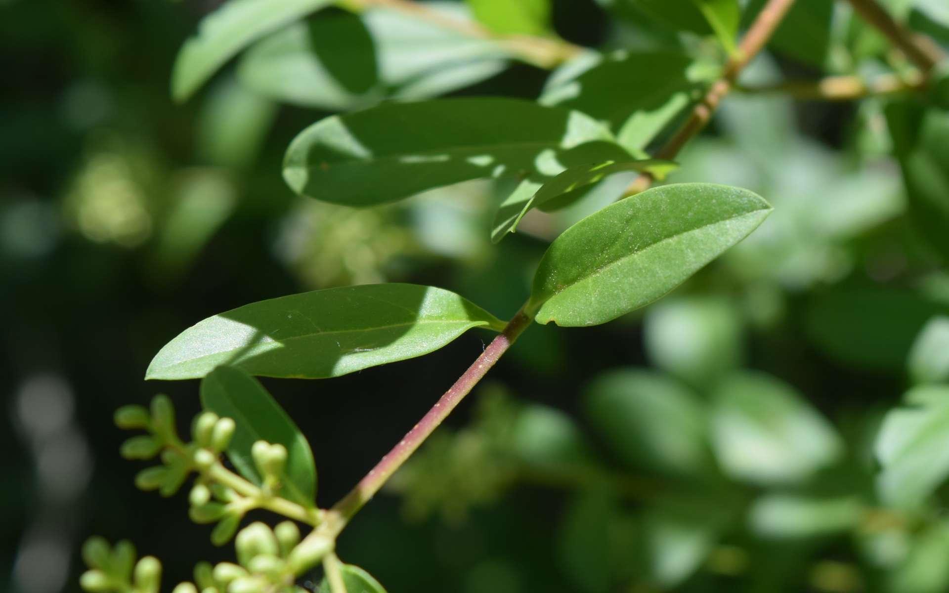Troène commun - feuilles (Crédits : Léa Charbonnier)