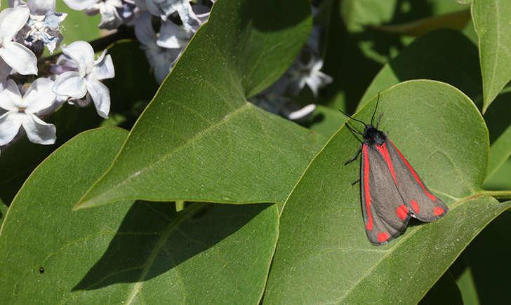 Ecaille du séneçon (Nature Photos - flickr)
