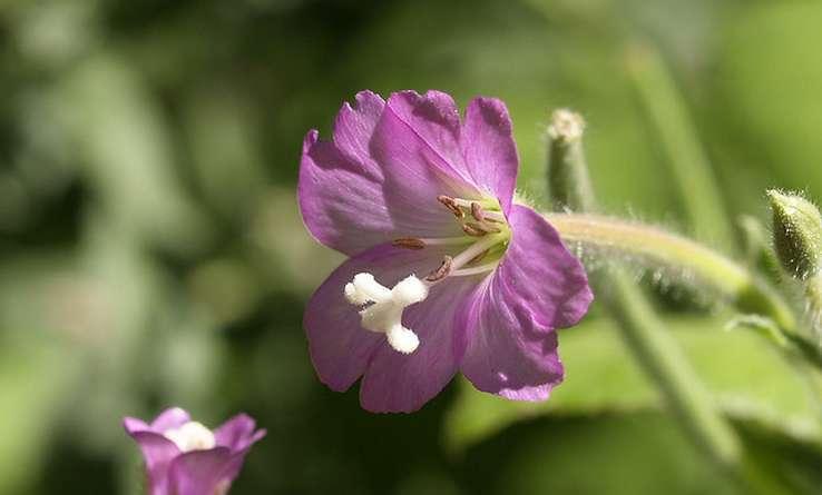 Épilobe à grandes fleurs