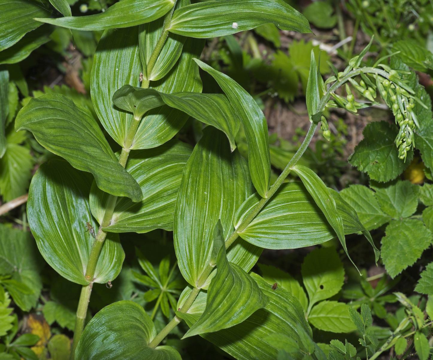 Epipactis à larges feuilles - Credit : AJC1 - Flickr