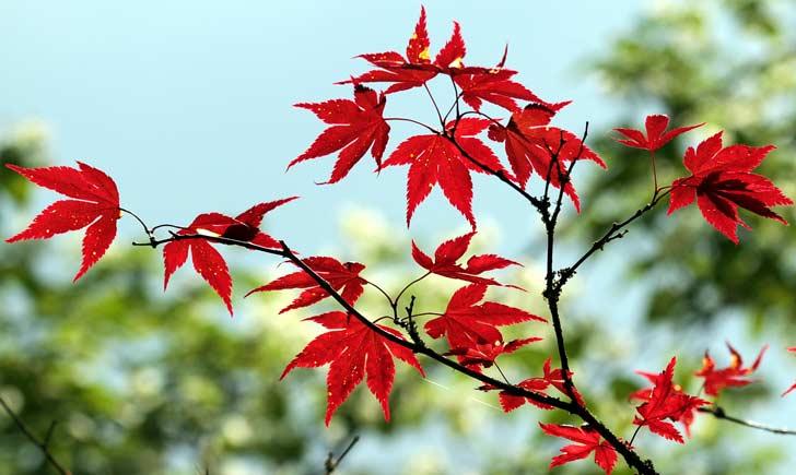 Erable japonais, feuilles d'automne, Credits : Guy Renard