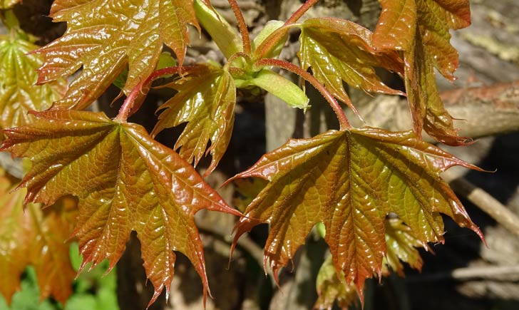 Erable plane, jeunes feuilles (Crédits : Olive Titus)