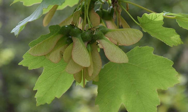 Erable à feuilles d'obier (Crédits: Sabine Meneut)