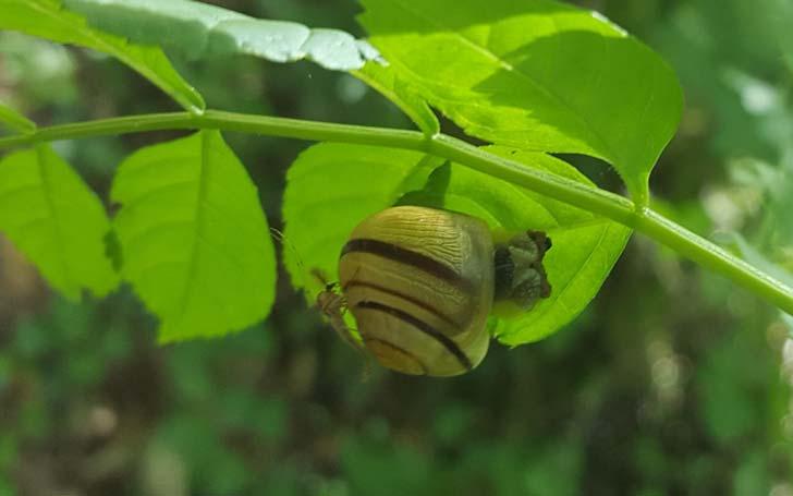 Escargot-des-jardins-credit-RNN-la-Bassée