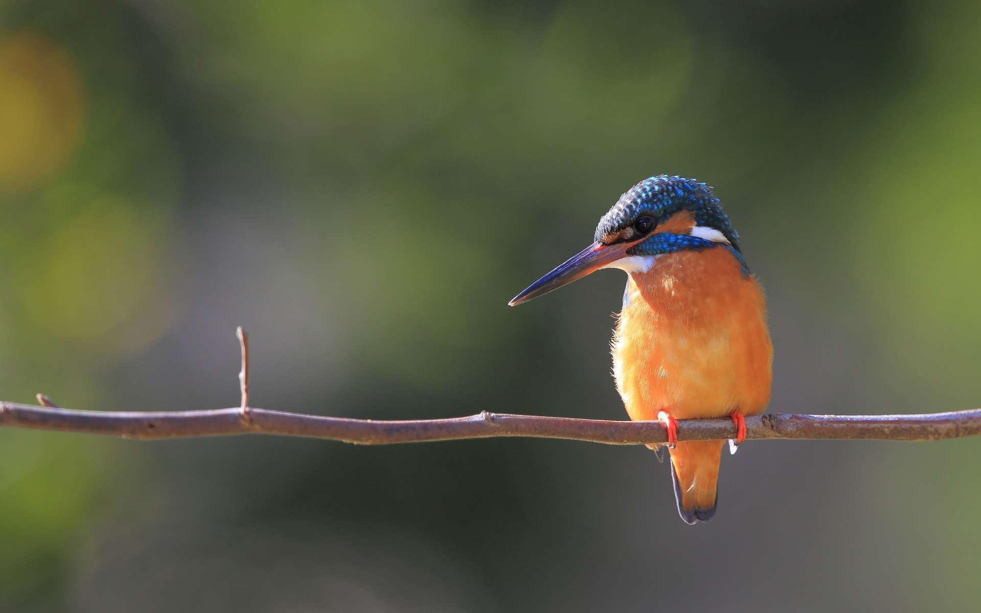 Martin-pêcheur d'Europe (Crédits : Eugene Lim - Flickr)