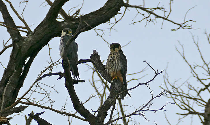 Faucon hobereau (Bernard DUPONT - flickr)