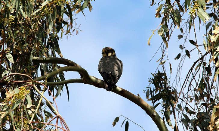 Faucon hobereau (Michele Lamberti - flickr)
