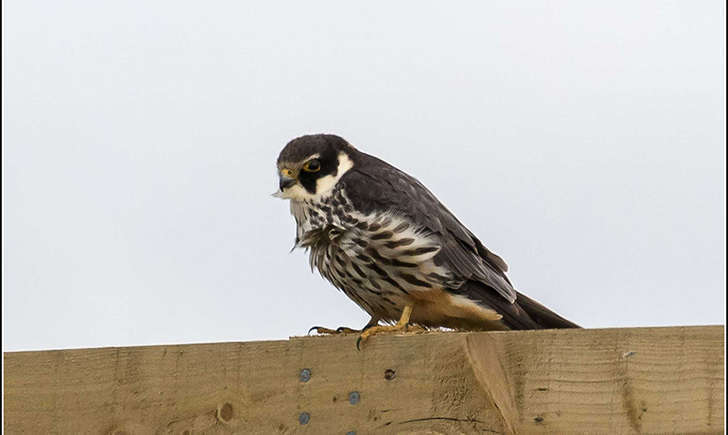 Faucon hobereau (Smudge 9000 - flickr)