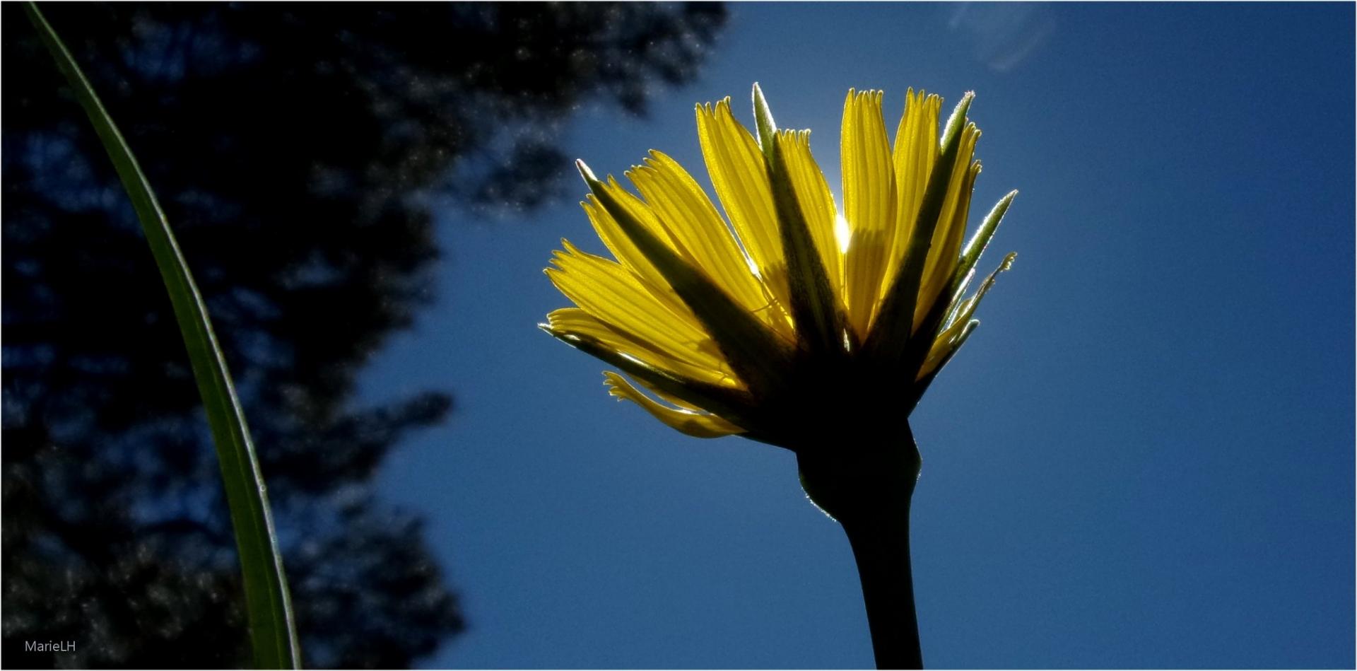 Fleur Salsifis des prés (Crédit : Marie LH_Flickr)