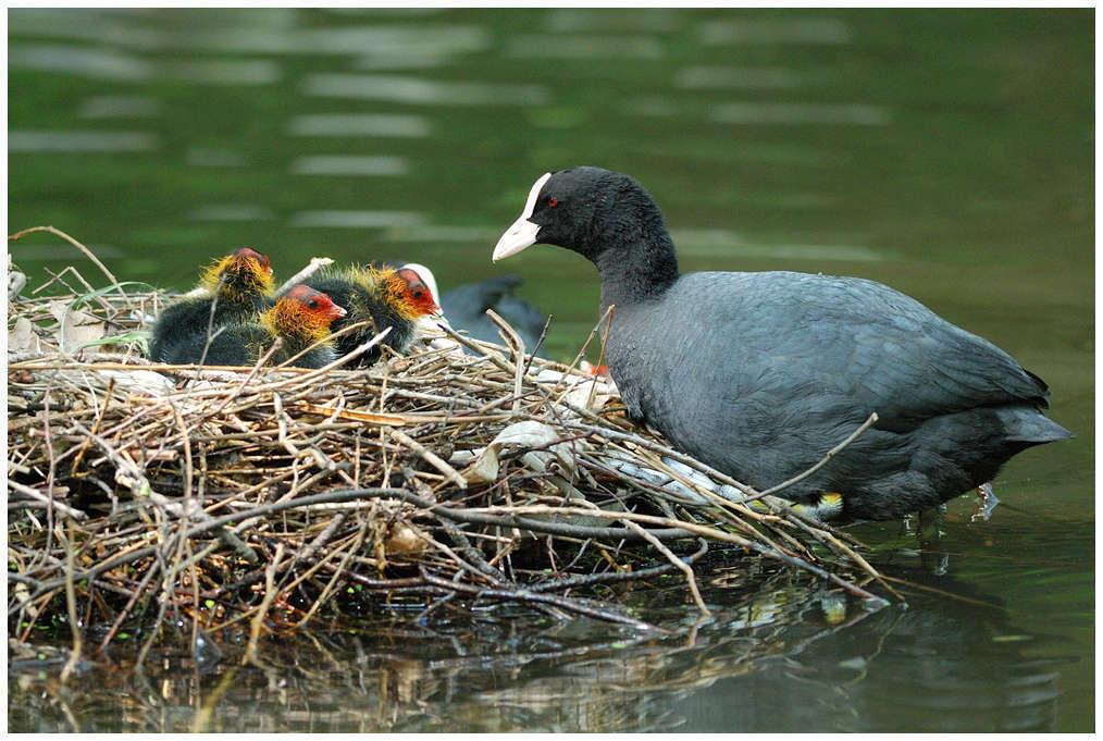 Foulque macroule avec ses petits (Crédits Jean-Jacques Boujot)