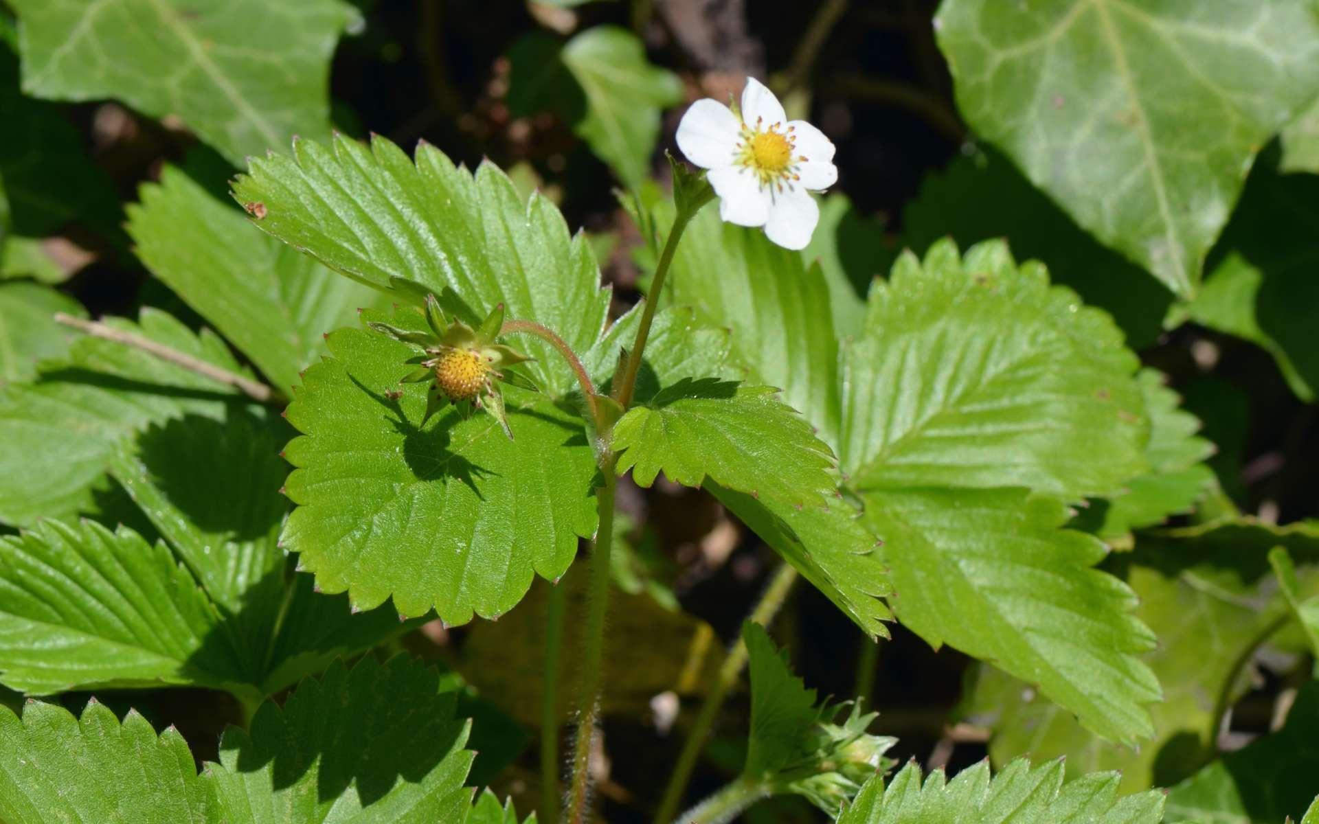 Fraisier sauvage - fleur et feuilles (Crédits : Benoît Toussaint)
