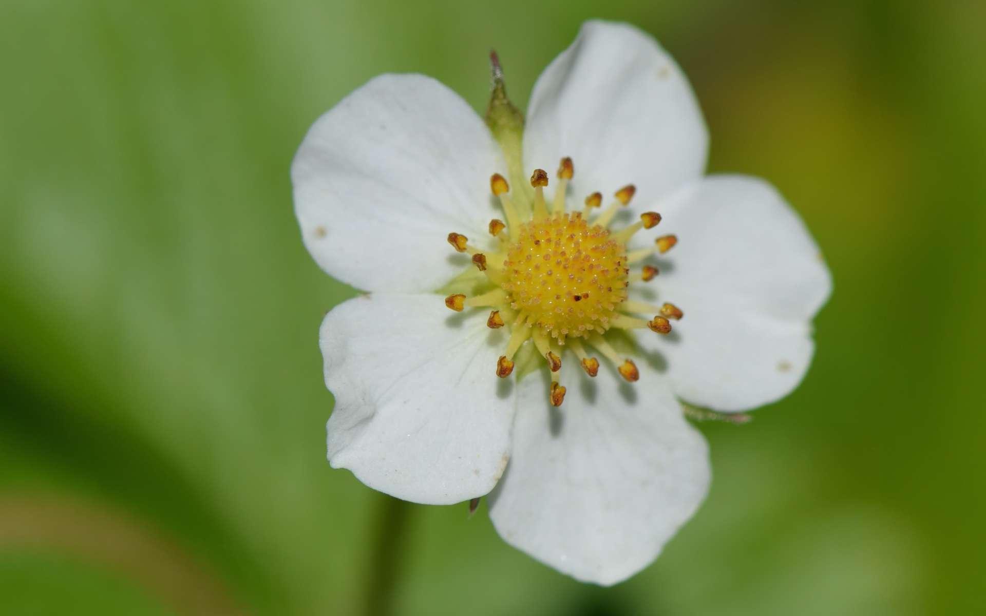 Fraisier sauvage - fleur (Crédits : Benoît Toussaint)