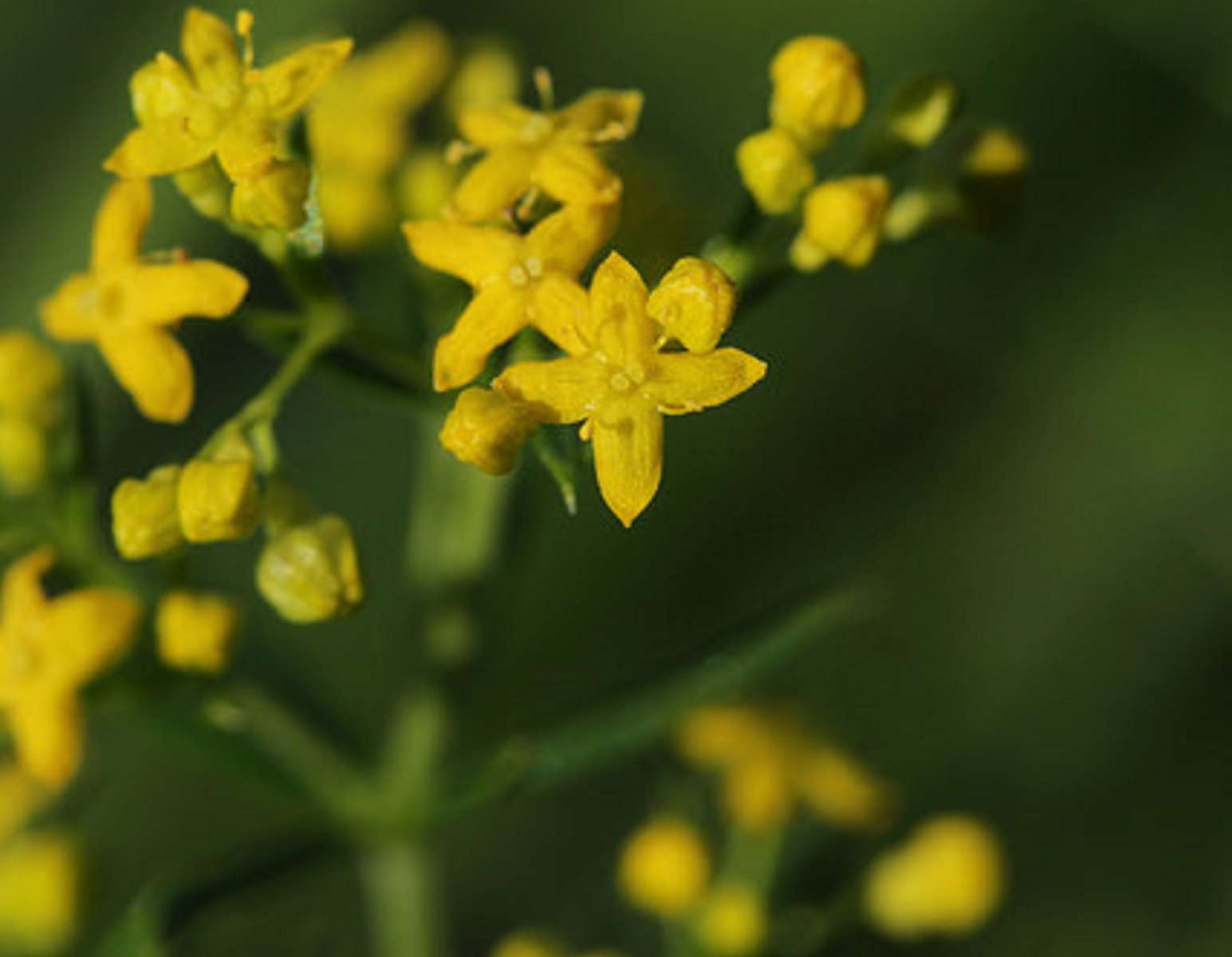Fleurs de Galium verum  (© : Björn S - Flickr)