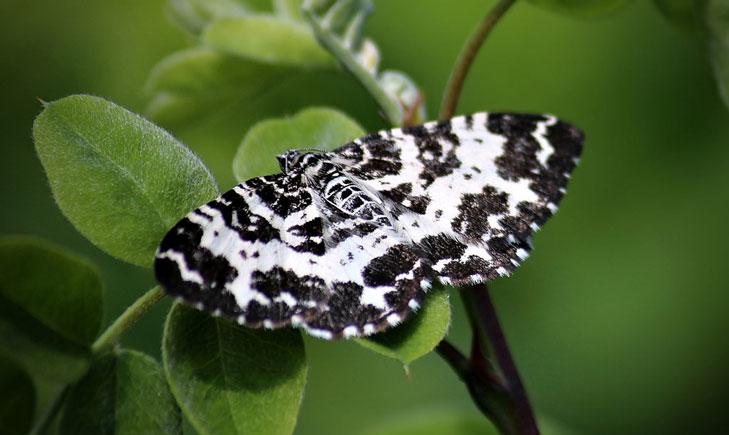 Géomètre noir du bouleau Rheumaptera hastata crédit: auvu korpi