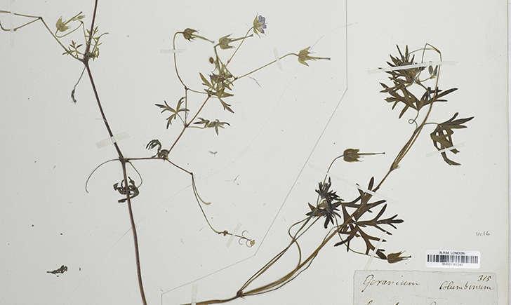 Géranium colombin (Crédits: NATT-at-NKM - flickr)