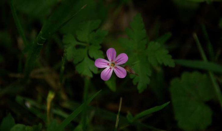 Géranium herbe-à-Robert