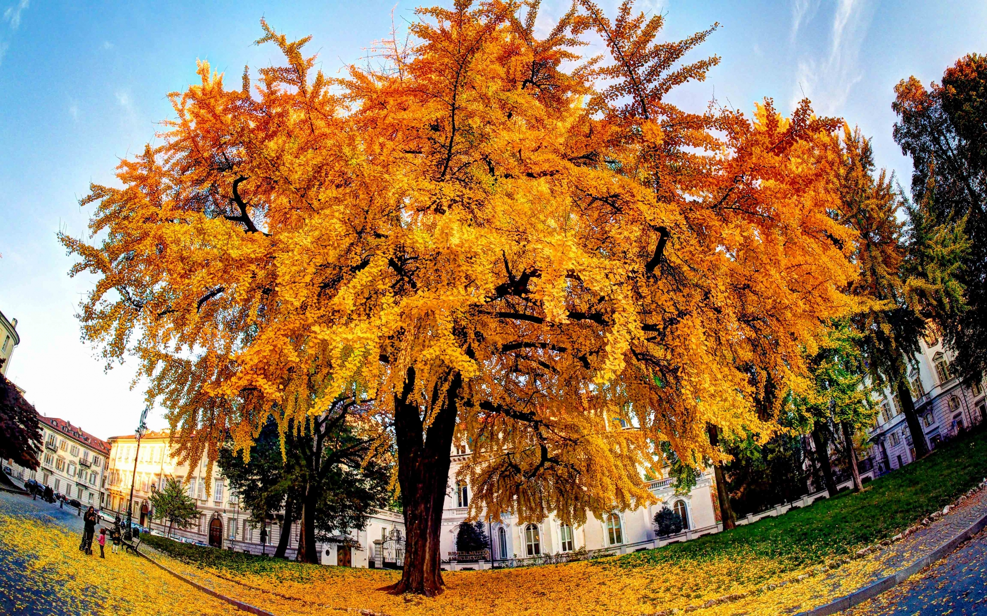 Ginkgo biloba, arbre complet. Crédit: Luca Boldrini - Flickr