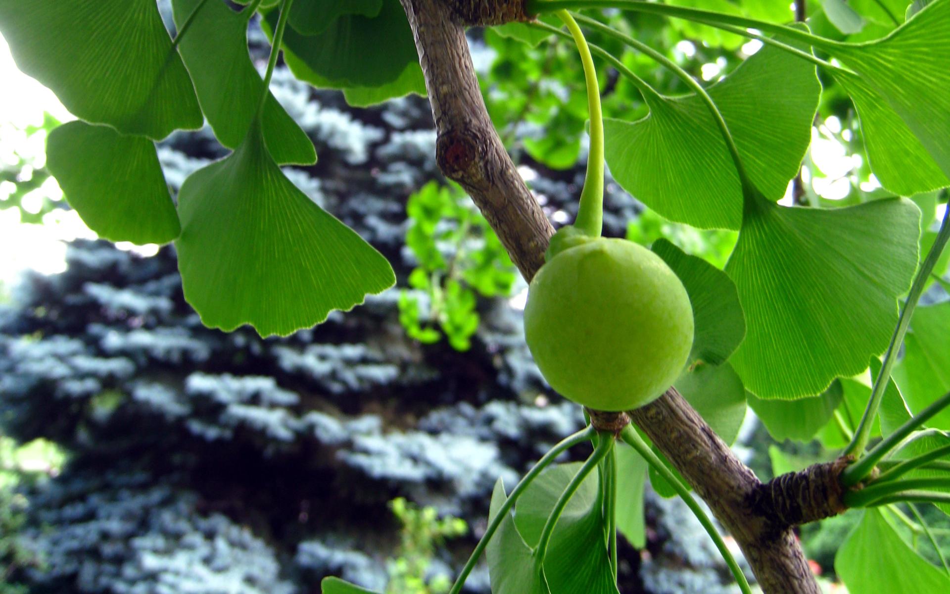 Ginkgo biloba, fruit. Crédit : Solylunafamilia - Flickr