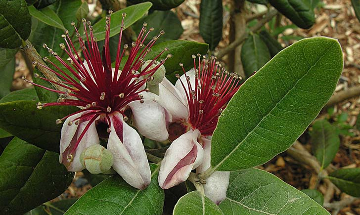 Fleurs et feuilles du goyavier de Montevideo (Crédits : Dick Culbert)