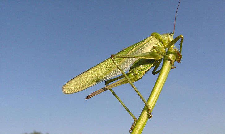 Grande sauterelle verte (Crédits : Daniel Ruprecht)