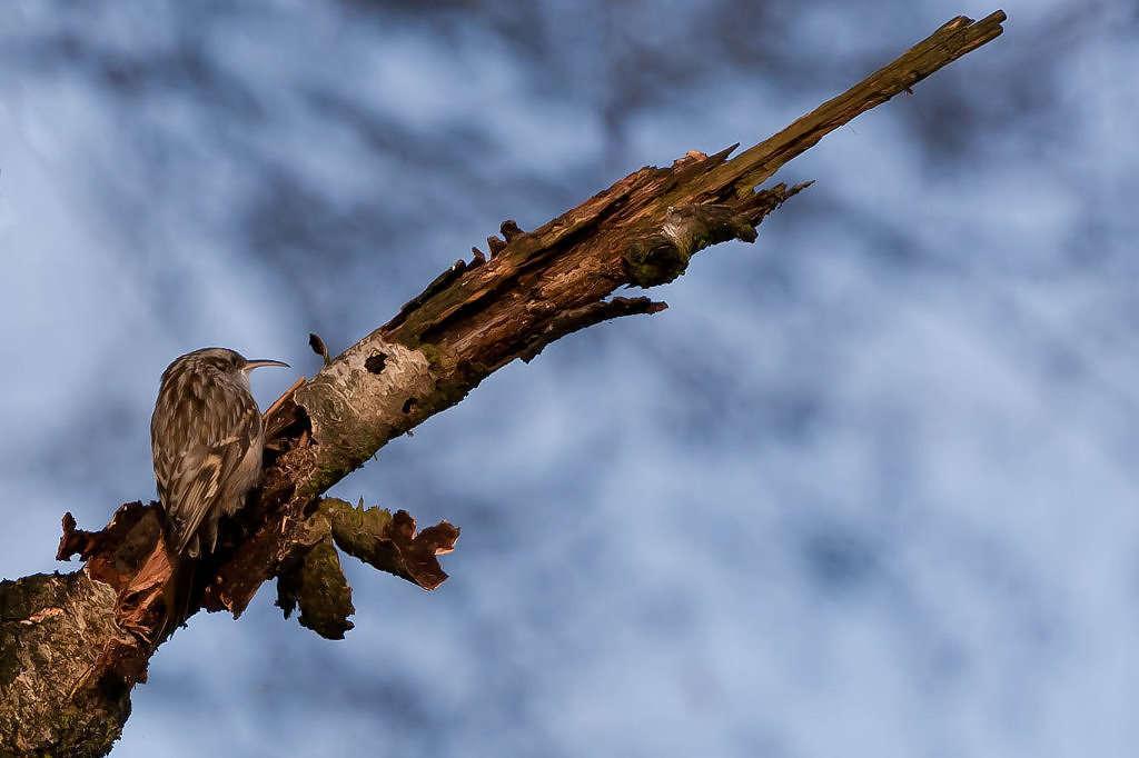 Grimpereau des jardins (Crédits : Marcin Moga - Flickr)