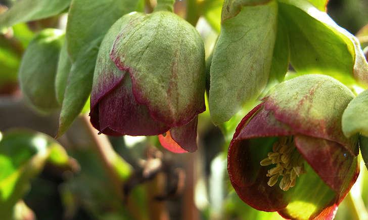 Hellébore fétide (Crédits: Jacinta lluch valero - flickr)